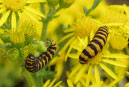 Biological - the introduction, or encouragement of parasites or predators of a pest species, like cinnabar moth to control Tansy Ragwort