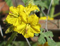 Pierce county noxious weed buffalobur