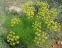 common fennel