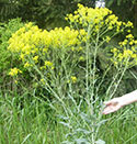dyers woad weed problem in WA state