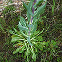 dyers Woad is a noxious weed in pierce county, wa