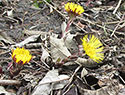 European Coltsfoot
