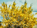 Scotch Broom