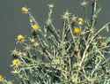 Yellow Starthistle