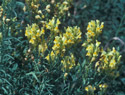 Yellow Toadflax